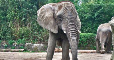 Elefant verletzt Mann tödlich