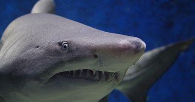 Gruselige Attacke von Monster-Hai