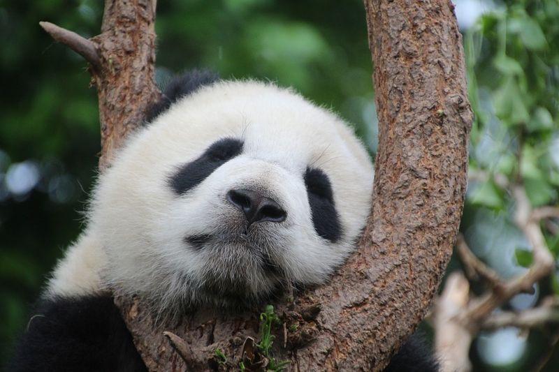 Schaffst du es, den Panda innerhalb von 10 Sekunden in DIESEM Bild zu finden?