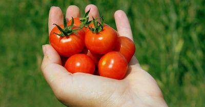 Ist das Grüne bei Tomaten wirklich giftig?