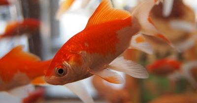 Eine Studie bestätigt: Fische können sich mittlerweile besser konzentrieren als Menschen